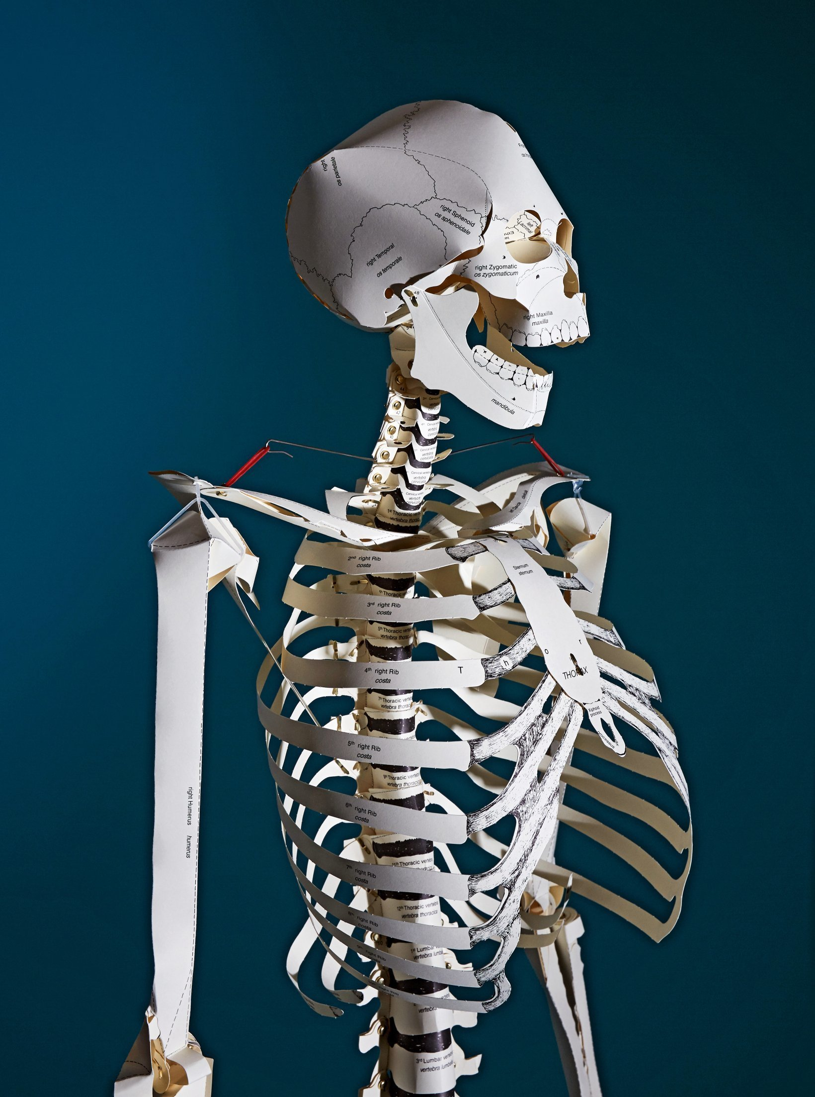 Build Your Own Human Skeleton Life Size Taschen Books