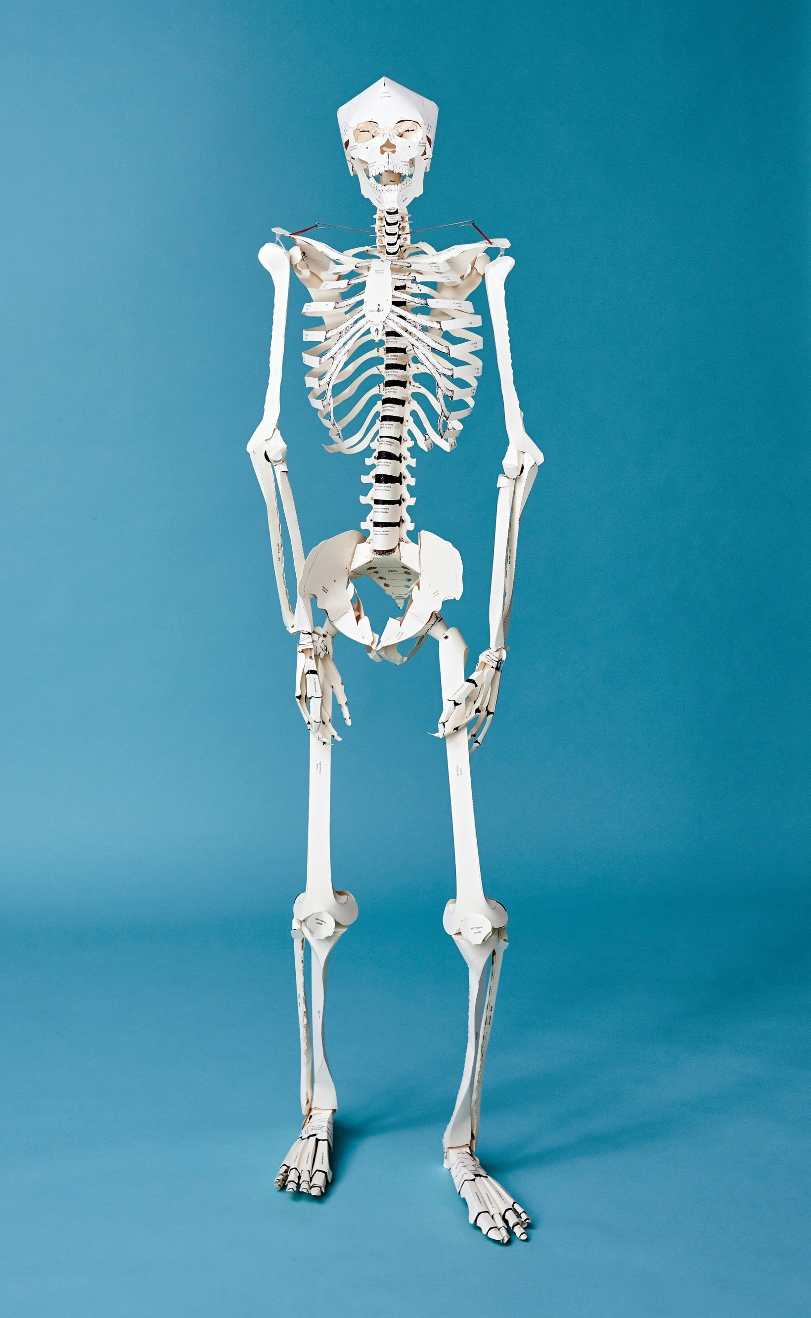 photograph relating to Printable Human Skeleton to Assemble named Develop Your Personalized Human Skeleton Daily life Measurement!