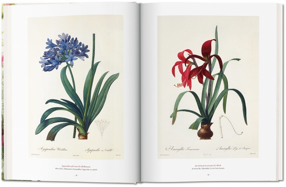 Two facing pages of Redouté's paintings of lilies